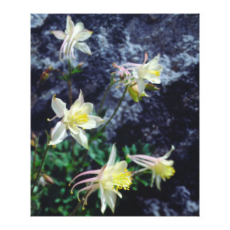Columbine Wildflowers in the Sierras Stretched Canvas Print