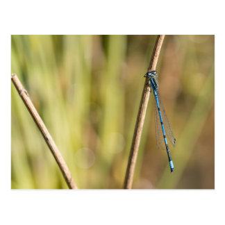 Common Blue Damselfly Postcard