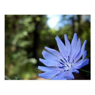 Common Chicory Postcard