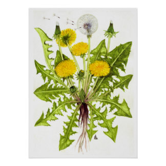 Common Dandelion --  Sue Abonyi Poster