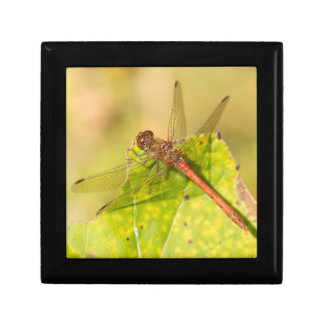 Common Darter Dragonfly Gift Box