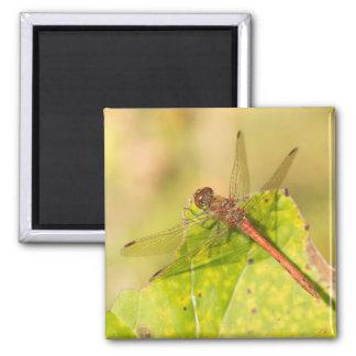 Common Darter Dragonfly Magnet
