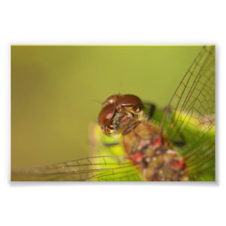 Common Darter Dragonfly Photo