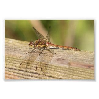 Common Darter Dragonfly Photo Print