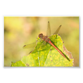 Common Darter Dragonfly Photo Print