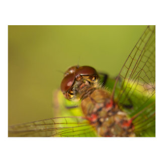 Common Darter Dragonfly Postcard