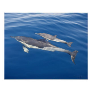Common Dolphin Poster