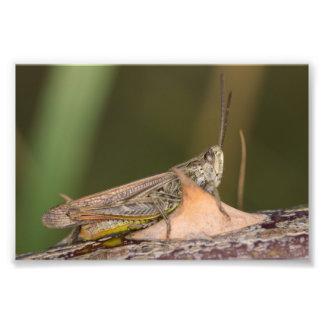 Common Field Grasshopper Photo Print