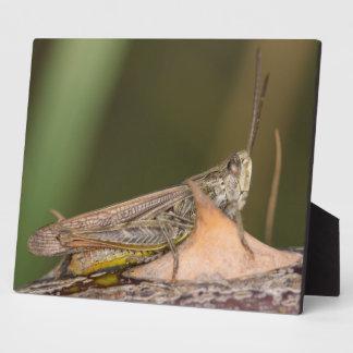 Common Field Grasshopper Plaque
