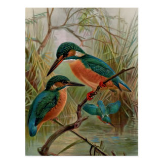 Common Kingfisher Vintage Bird Illustration Postcard