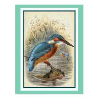 Common Kingfisher Vintage Illustration Postcard