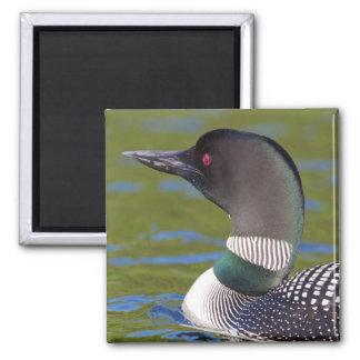 Common loon in water, Canada Magnet