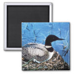 Common Loon on Nest Square Magnet