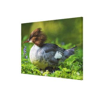 Common Merganser On Chicks Canvas Print