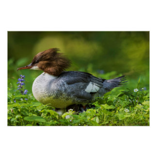 Common Merganser On Chicks Poster