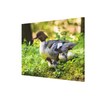 Common Merganser With Chicks Canvas Print