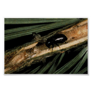 Common Pine Shoot Beetle Poster