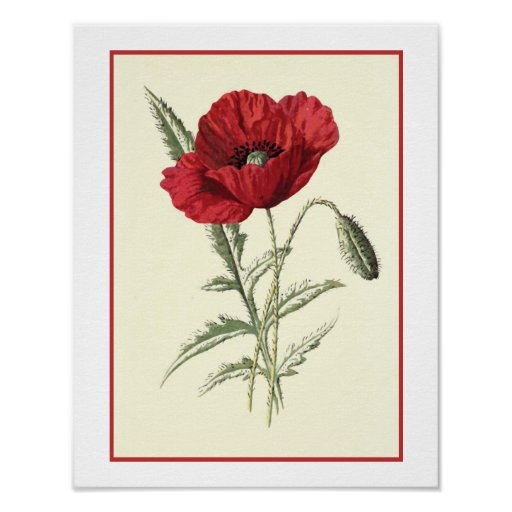 """Common Poppy"" Botanical Illustration Poster"