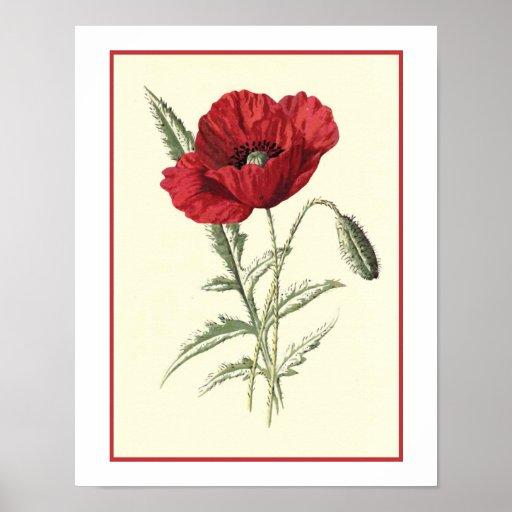 Quot Common Poppy Quot Botanical Illustration Poster Zazzle Com Au