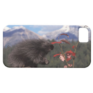 Common porcupine feeding on high brush cranberry iPhone 5 cover