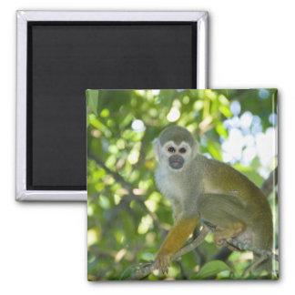 Common Squirrel Monkey (Saimiri sciureus) Rio Magnet