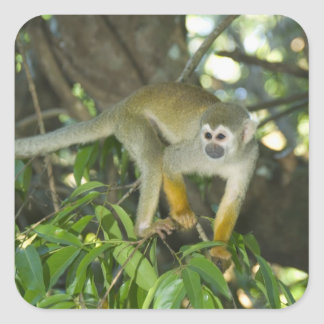 Common Squirrel Monkey, (Saimiri sciureus), Rio Square Sticker