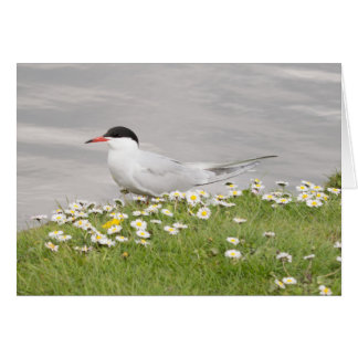 Common Tern Card