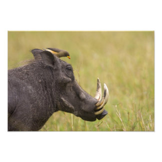 Common Warthog Phacochoerus africanus) with Art Photo