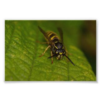 Common Wasp Photographic Print