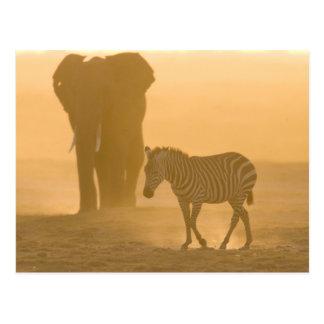 Common Zebra, Equus burchelli, and Elephant, Postcard