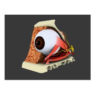 Conceptual Image Of Human Eye Anatomy 1 Postcard
