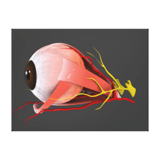 Conceptual Image Of Human Eye Anatomy 2 Stretched Canvas Prints