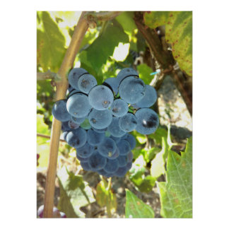 Concord Grapes Poster