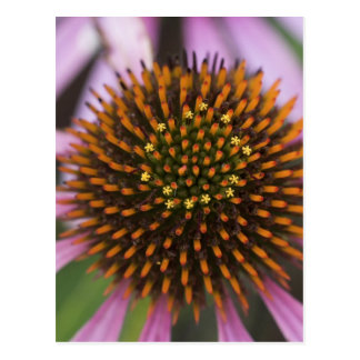 Coneflower Photo Postcards