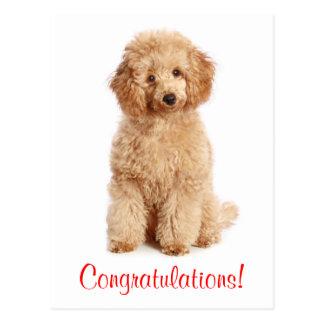 Congratulations Apricot Poodle Puppy Dog Postcard
