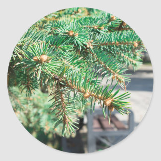 Conifer branch at the city street classic round sticker