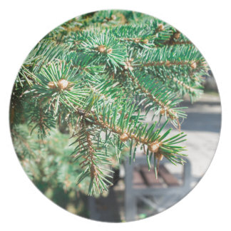Conifer branch at the city street plate
