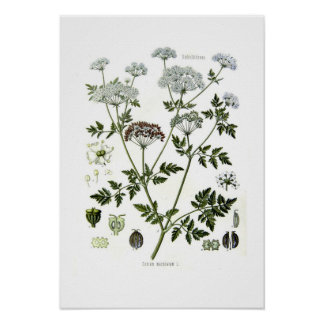 Conium maculatum poster