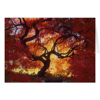 Connecticut: Darien, Japanese maple 'Acer Greeting Card