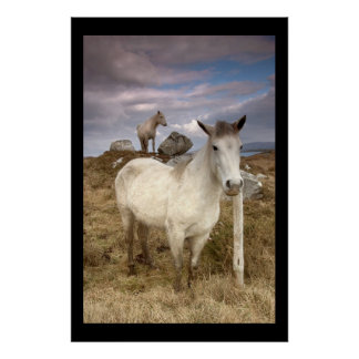 Connemara Ponies. Poster by cARTerART
