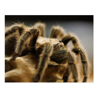 Contemplative Spider - Tarantula Art Image 8 Postcard