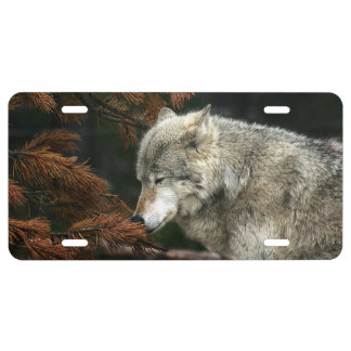 Contemplative timber wolf license plate