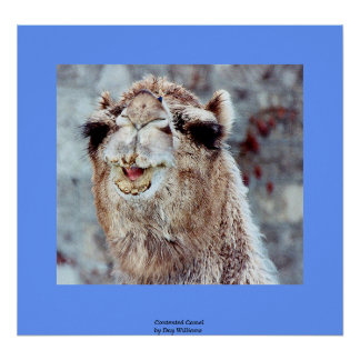 Contented Camel Poster