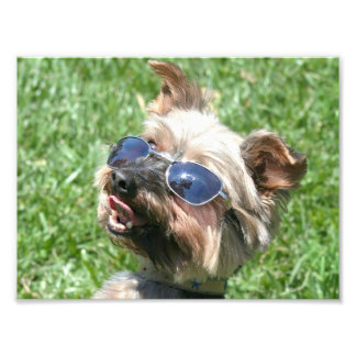 Cool Yorkshire Terrier Photo Print