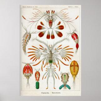 Copepoda crustaceans posters