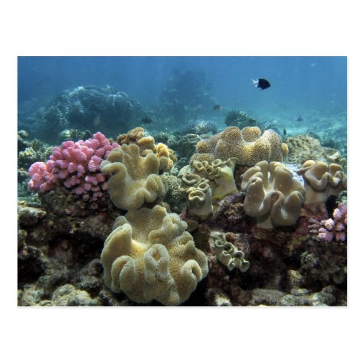 Coral, Agincourt Reef, Great Barrier Reef, Post Card