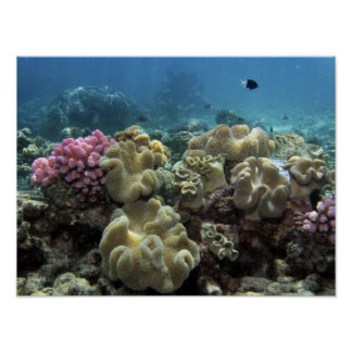 Coral, Agincourt Reef, Great Barrier Reef, Poster