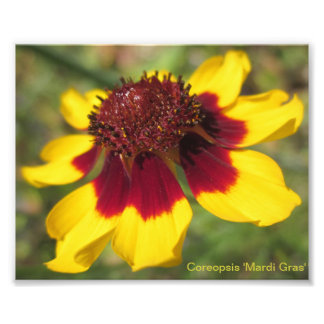 Coreopsis 'Mardi Gras' Macro Stock Photo