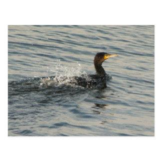 Cormorant Swimming Postcard