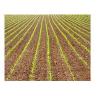 Corn field 21.5 cm x 28 cm flyer